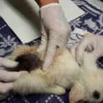 7-verwahrloste-katzen-gerettet-floehe-150x150 Sieben Katzen - von Parasiten befallen - völlig entkräftet