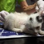7-verwahrloste-katzen-gerettet-gescheckt-150x150 Sieben Katzen - von Parasiten befallen - völlig entkräftet