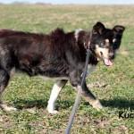 Hund-Kucita-an-der-leine-trauriges-150x150 Kosa und Kucita - endlich wieder frei