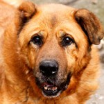 hund-leobär-verstorben-schaut-1-150x150 Leobär - Ruhe in Frieden