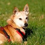 schäferhundmix-fritz-patentier-tierschutzliga-dorf-seite-150x150 Fritz - Pinscher-Spitz-Mischling