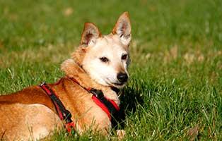 schäferhundmix-fritz-patentier-tierschutzliga-dorf-seite Tierpate werden