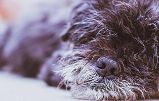 shih-tzu-mix-zausel-verstorben Shih Tzu Zausels Hundetagebuch