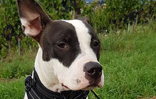 pitbull-nessi-gluecklich-vermittelt Tierische Geschichten - Lustiges und spannendes