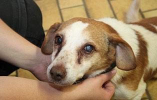 polenhund-bilbo-augenprobleme Auslandshunde - Aufnahmepatenschaft