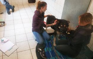 rottweiler-mix-hasso-akupunktur Toffee - Spaniel Mischling
