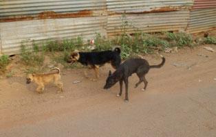 tierschutz-indien-streuner Tierschutz in Indien