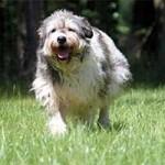hund-annouschka-verstorben-rennt-150x150 Annouschka -  2,5 Jahre warst du für uns da