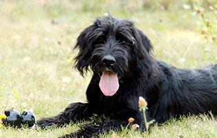 hunde-blacky-gluecklich-vermittelt Riesenschnauzer Blacky