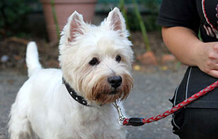 hunde-carlo-gluecklich-vermittelt West Highland Terrier Carlo