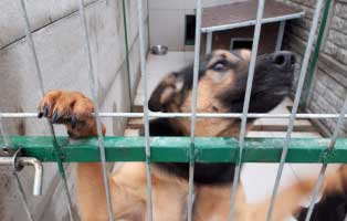 rüde-4Jahre-seit-2Jahren-im-heim 9 Hunde aus einem polnischem Tierheim, suchen Aufnahmepaten