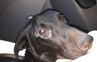 junghund-eingefangen-luna-schaut Max - gekämpft, gehofft und doch verloren