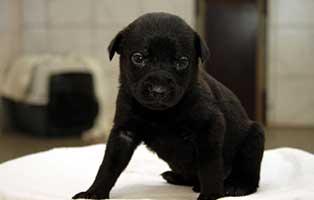 labrador-mischling-welpen-huendin2 10 Labrador Mischlingswelpen suchen Start-ins-Leben Paten