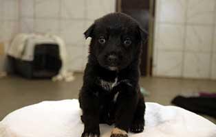labrador-mischling-welpen-ruede1 10 Labrador Mischlingswelpen suchen Start-ins-Leben Paten