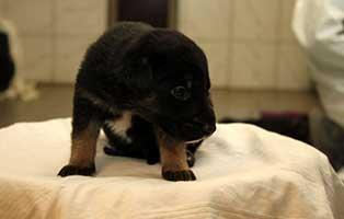labrador-mischling-welpen-ruede2 10 Labrador Mischlingswelpen suchen Start-ins-Leben Paten