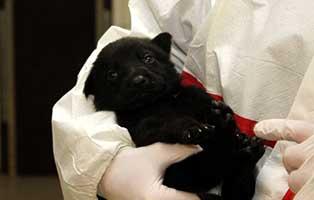 labrador-mischling-welpen-ruede3 10 Labrador Mischlingswelpen suchen Start-ins-Leben Paten