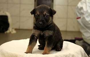 labrador-mischling-welpen-ruede4 10 Labrador Mischlingswelpen suchen Start-ins-Leben Paten