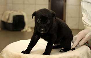 labrador-mischling-welpen-ruede5 10 Labrador Mischlingswelpen suchen Start-ins-Leben Paten