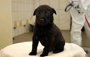 labrador-mischling-welpen-ruede6 10 Labrador Mischlingswelpen suchen Start-ins-Leben Paten