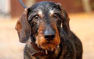 hund-dackel-geni-verstorben Peter - von uns gegangen