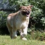 hund-ursel-verstorben-rennt-150x150 Ursel – in Gedenken an diese starke Hündin