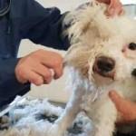 hunde-teddy-flocke-unfall-abgabe-friseur-schur-150x150 Teddy und Flocke verstehen die Welt nicht mehr