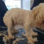 hunde-teddy-flocke-unfall-abgabe-friseur-schur-halb-150x150 Teddy und Flocke verstehen die Welt nicht mehr