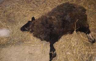 schaf-geschwaecht-erloest-stroh Verlorenes Schaf erlöst