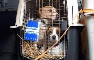 6-hunde-smeura-unterheinsdorf-transport 6 Hunde aus der Smeura sind in Unterheinsdorf angekommen