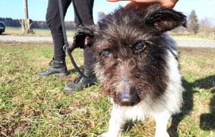 hund-gwenny-augenoperation-gassi Tobi - Ein kleiner, alter Hund braucht eine Ultraschall Untersuchung