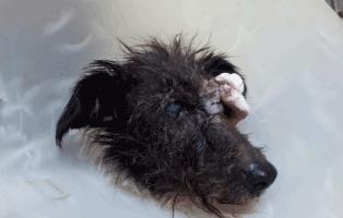hund-gwenny-augenoperation-operiert Gwenny braucht Augen-Op