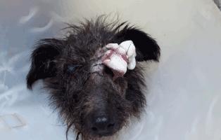 hund-gwenny-augenoperation-verband Gwenny braucht Augen-Op