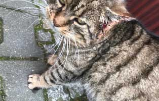 kater-ecki-behandlung-ohr Katzenstation Netzschkau – Marode Hütten machen das Katzenleben schwer