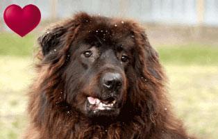 herdenschutzhund-simba-tier-des-monats-januar-herz Herzensangelegenheit des Monats