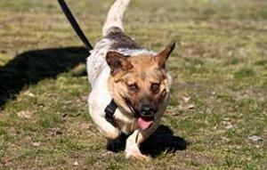 polenhund-alwin-zuhause-gesucht-gassi-300x191 Alwin und Montana suchen ein neues Zuhause
