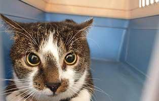 beschlagnahmung-46-katzen-wollaberg-kater-10-3-jahre 39 Katzen aus Animal Hording Haushalt beschlagnahmt