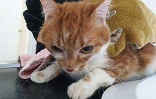 beschlagnahmung-46-katzen-wollaberg-kater-11-2-jahre 39 Katzen aus Animal Hording Haushalt beschlagnahmt