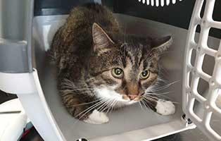 beschlagnahmung-46-katzen-wollaberg-kater-17-10-jahre 39 Katzen aus Animal Hording Haushalt beschlagnahmt