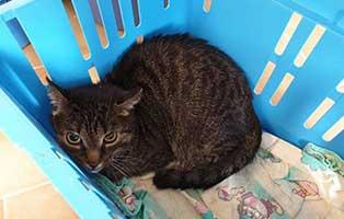 beschlagnahmung-46-katzen-wollaberg-kater-19-10-jahre 39 Katzen aus Animal Hording Haushalt beschlagnahmt