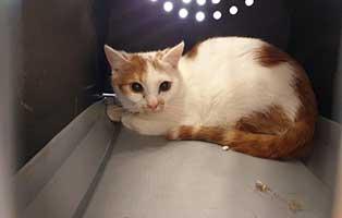 beschlagnahmung-46-katzen-wollaberg-kater-25-4-jahre 39 Katzen aus Animal Hording Haushalt beschlagnahmt