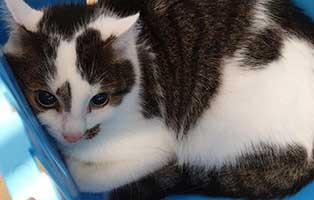 beschlagnahmung-46-katzen-wollaberg-kater-28-7-jahre 39 Katzen aus Animal Hording Haushalt beschlagnahmt