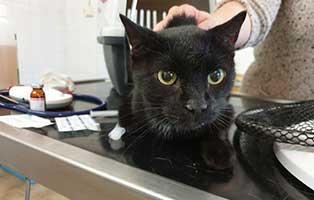 beschlagnahmung-46-katzen-wollaberg-kater-31-8-jahre 39 Katzen aus Animal Hording Haushalt beschlagnahmt