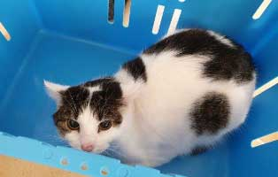 beschlagnahmung-46-katzen-wollaberg-kater-37-8-jahre 39 Katzen aus Animal Hording Haushalt beschlagnahmt