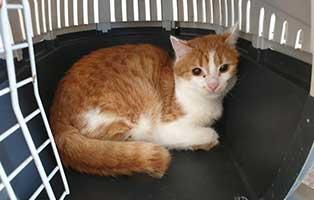 beschlagnahmung-46-katzen-wollaberg-kater-39-4-jahre 39 Katzen aus Animal Hording Haushalt beschlagnahmt
