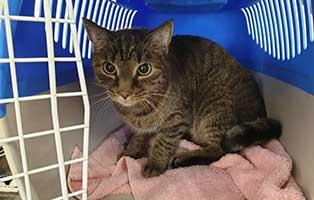beschlagnahmung-46-katzen-wollaberg-kater-40-7-jahre 39 Katzen aus Animal Hording Haushalt beschlagnahmt