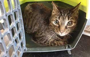 beschlagnahmung-46-katzen-wollaberg-kater-42-7-jahre 39 Katzen aus Animal Hording Haushalt beschlagnahmt