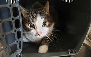 beschlagnahmung-46-katzen-wollaberg-kater-44-9-jahre 39 Katzen aus Animal Hording Haushalt beschlagnahmt