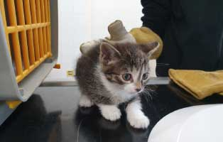beschlagnahmung-46-katzen-wollaberg-katze-01-5-wochen 39 Katzen aus Animal Hording Haushalt beschlagnahmt