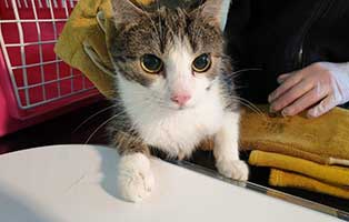 beschlagnahmung-46-katzen-wollaberg-katze-03-1-jahr 39 Katzen aus Animal Hording Haushalt beschlagnahmt