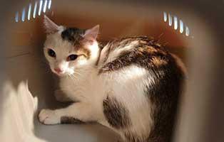 beschlagnahmung-46-katzen-wollaberg-katze-04-1-jahr 39 Katzen aus Animal Hording Haushalt beschlagnahmt